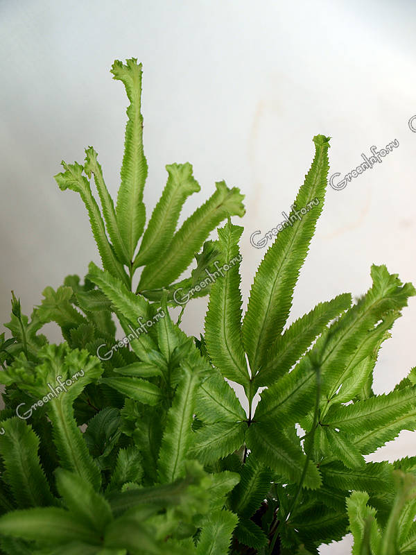 птерис критский