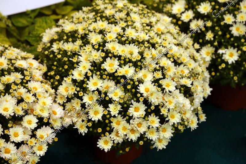 Мелкоцветковая хризантема Сантини Мадиба Линди