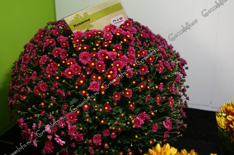 Hrizantema  Группа огородногоршечная мелкоцветковая