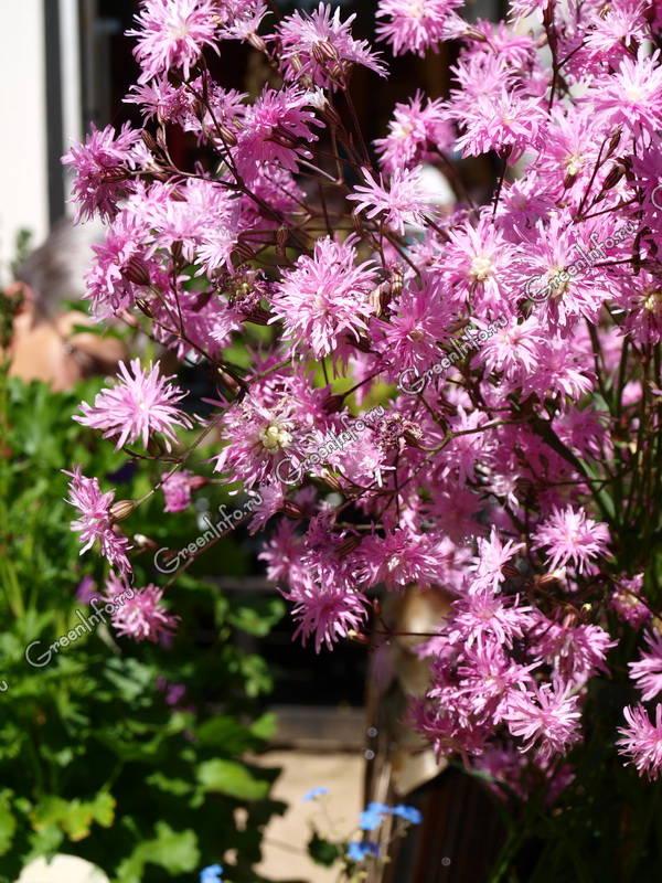 Кукушкин цвет обыкновенный