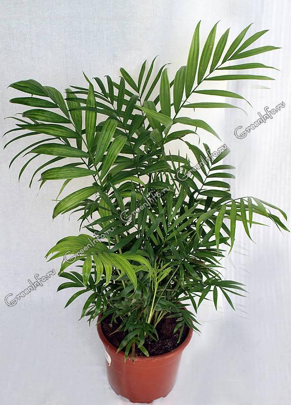 Хамедорея  Chamaedorea  happyfloraru