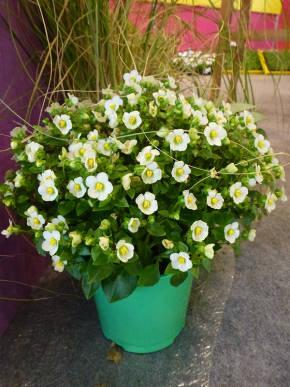Экзакум - Красивоцветущие растения ...