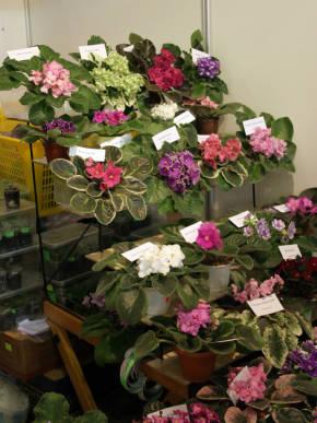 Сенполия - Красивоцветущие растения ...