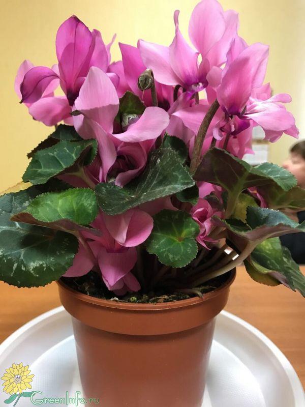 Уход за домашними цветами цикламены