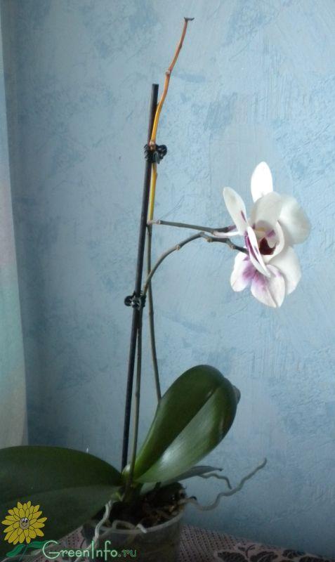 Засох ствол у орхидеи что делать