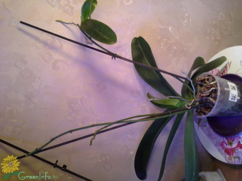 букет фото деток орхидей на цветоносе