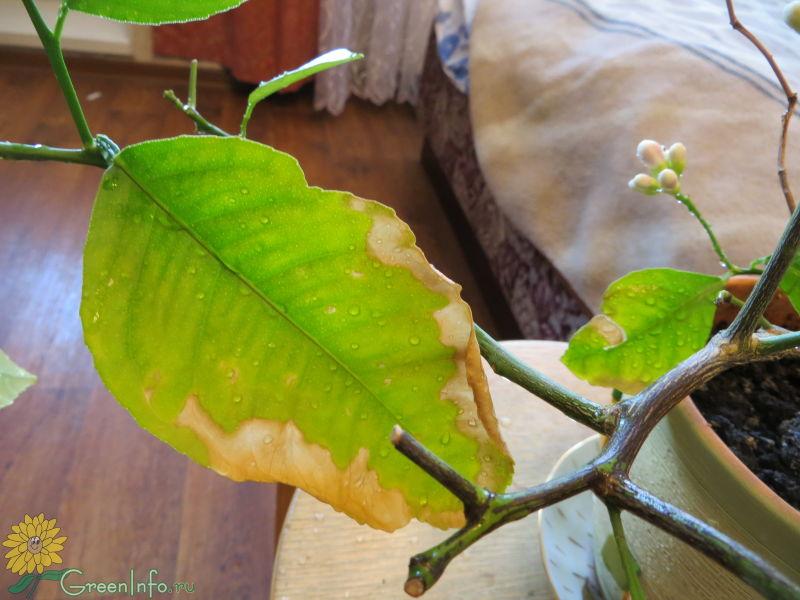 этом сериале почему у абрикоса листья желто зеленые необходимо знать