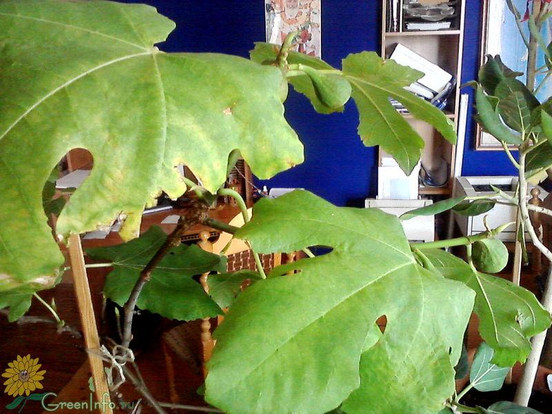 листья инжира
