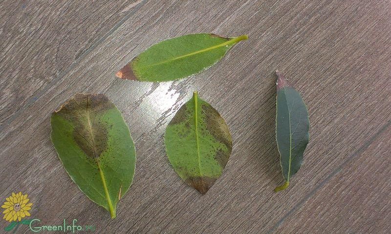 Почему у лаврового листа сохнут листья
