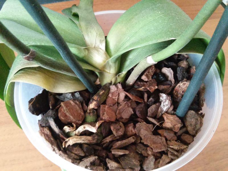 Ажыбаев Кечирип орхидея сгорела на солнце как ее спасти или иначе