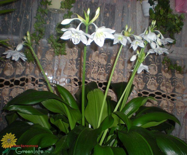 эухарис крупноцветковый