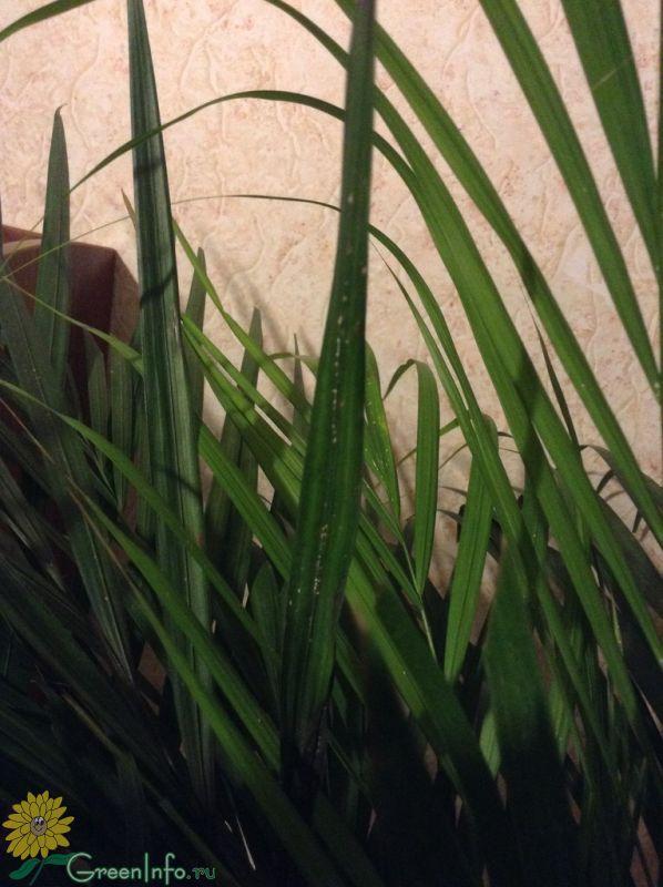 для знака сохнет хризолидо карпус пальма секрет, нужно