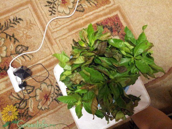 Желтеют, чернеют и опадают листья Гардении - Форум - Гардения - Красивоцветущие растения - Комнатные растения - GreenInfo.ru