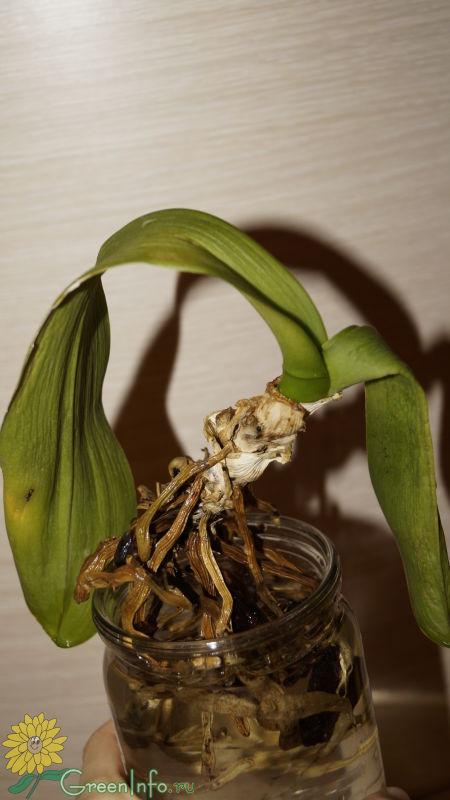 дошидоржиев как спасти орхидею картинка дверной проем
