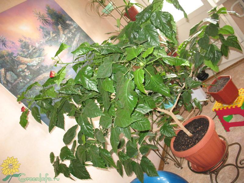 Почему у комнатного гибискуса скручиваются листья