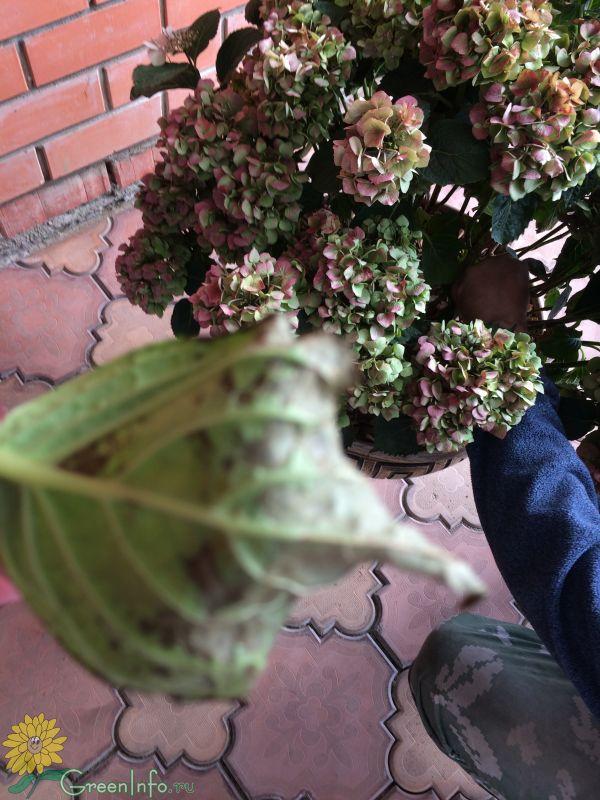 Гортензия чернеют листья