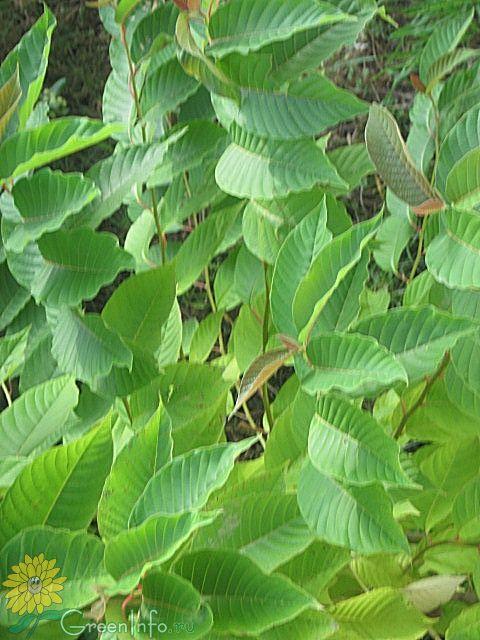 эпос определить дерево по фото нормальный