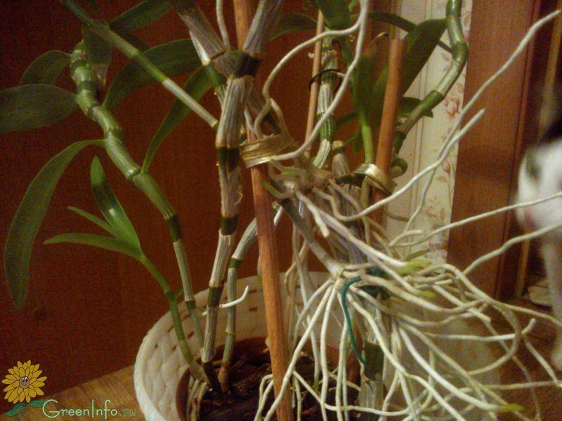 орхидея дендробиум воздушные корни стричь фото