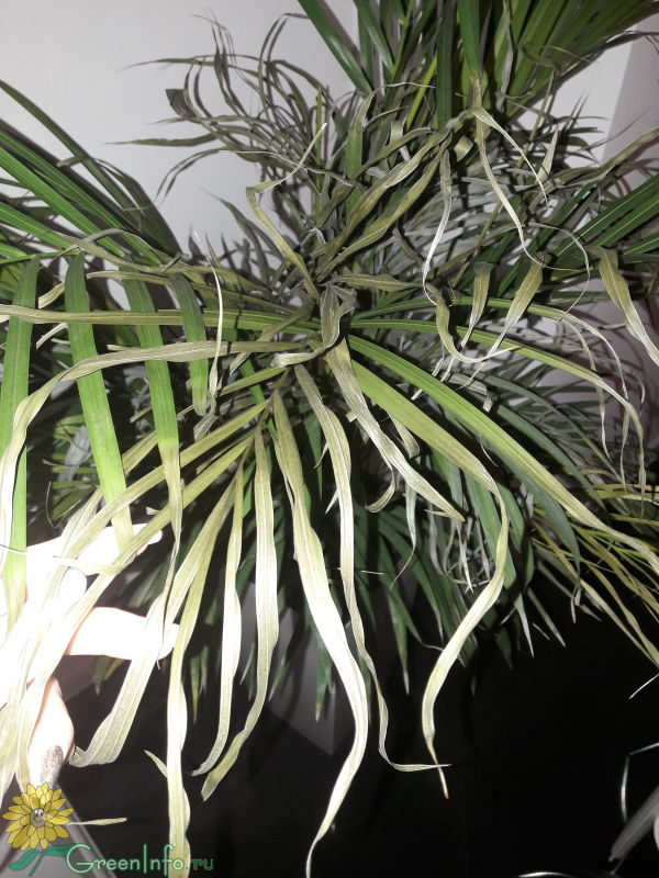 сохнет хризолидо карпус пальма заменяет действующий