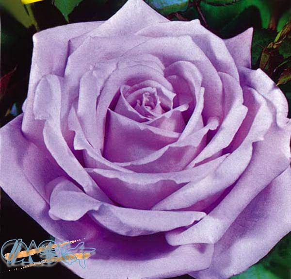 Роза сиси блю