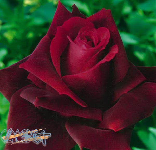 роза чайная гибридная