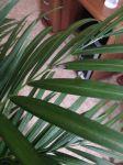 сохнет хризолидо карпус пальма паразитов
