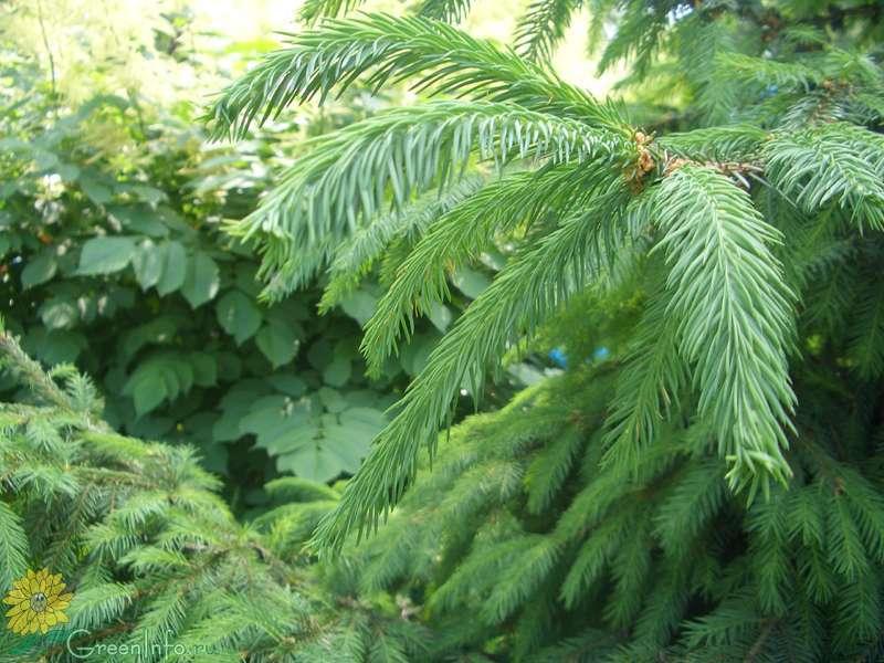 елово-лиственничный хермес фото