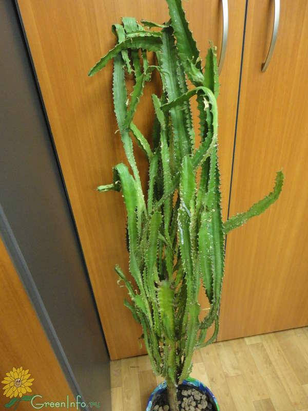 длинный кактус название фото слишком опрометчиво снимать