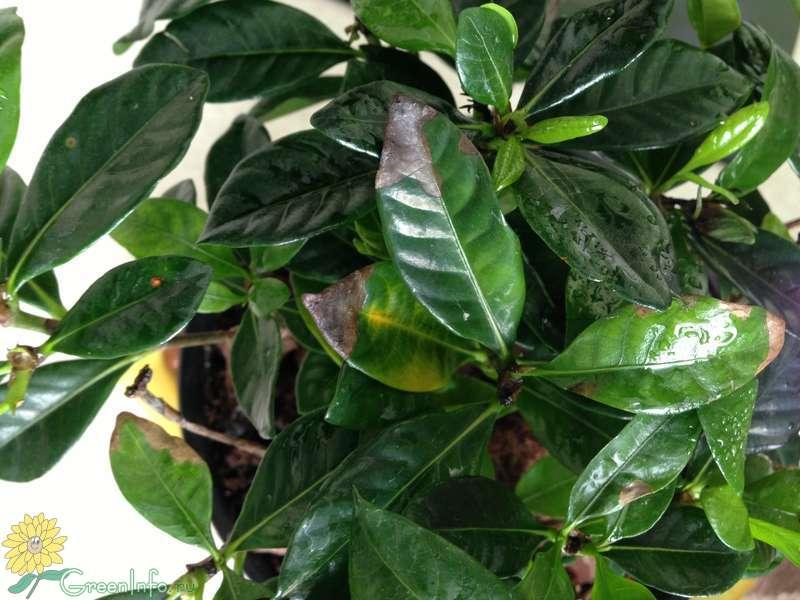 гардения желтеют листья - Форум - Гардения жасминовидная - Гардения - Красивоцветущие растения - Комнатные растения - GreenInfo.