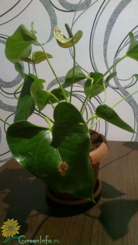 Антириум андре на листьях дырки причина