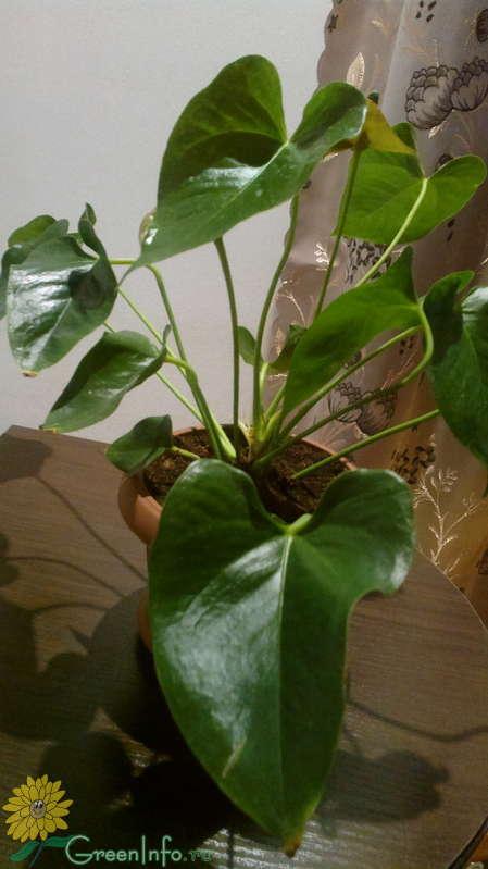 У антуриума листья в рваных дырках