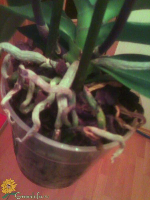 Почему у орхидеи коричневые корни
