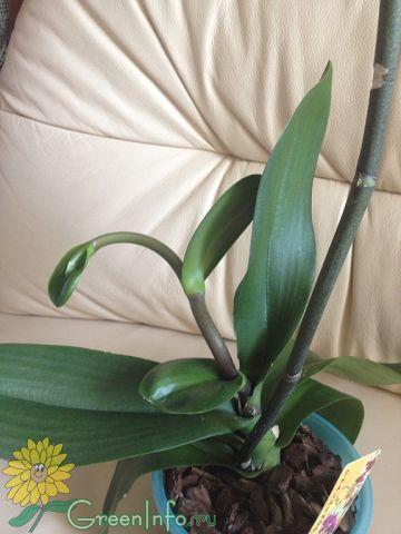 Орхидея не дает цветонос что делать