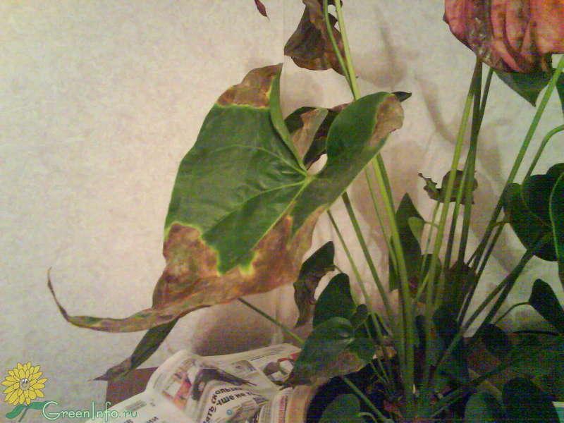 Антуриум чернеют листья