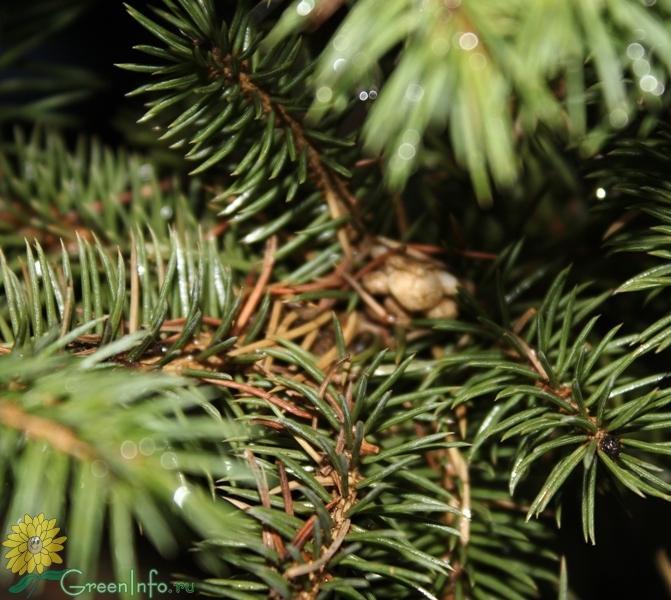 постороена у елки опали иголки что делать компоненты
