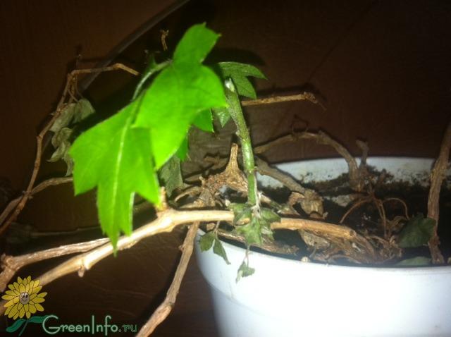 Размножение винограда черенками - схемы, виды, инструкции для