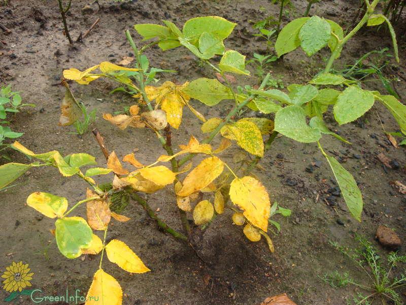 Почему у розы садовой желтеют листья