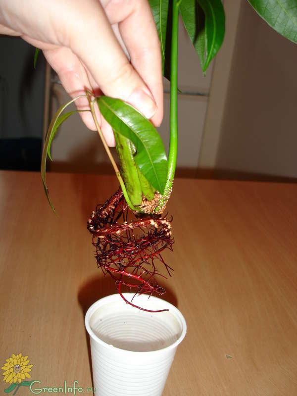 Как вырасти дерево из косточки в домашних условиях
