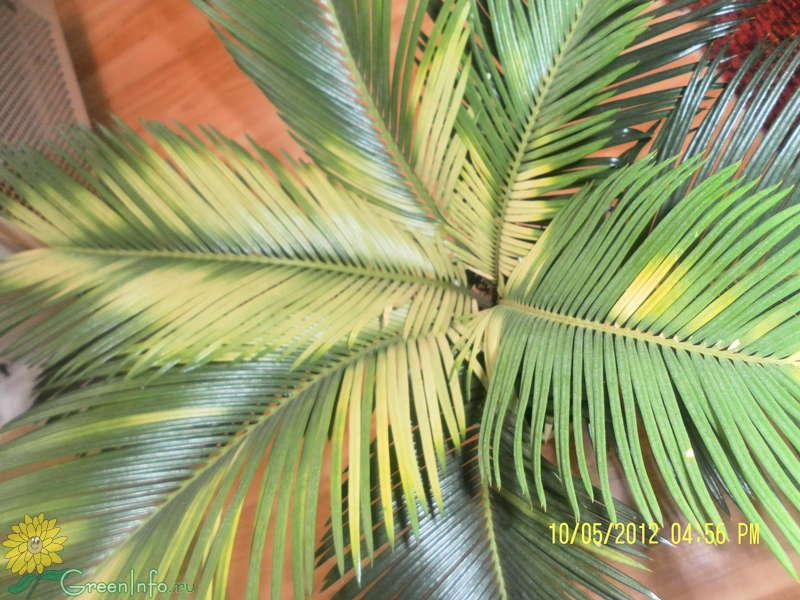 Почему у цикаса желтеют листья что делать