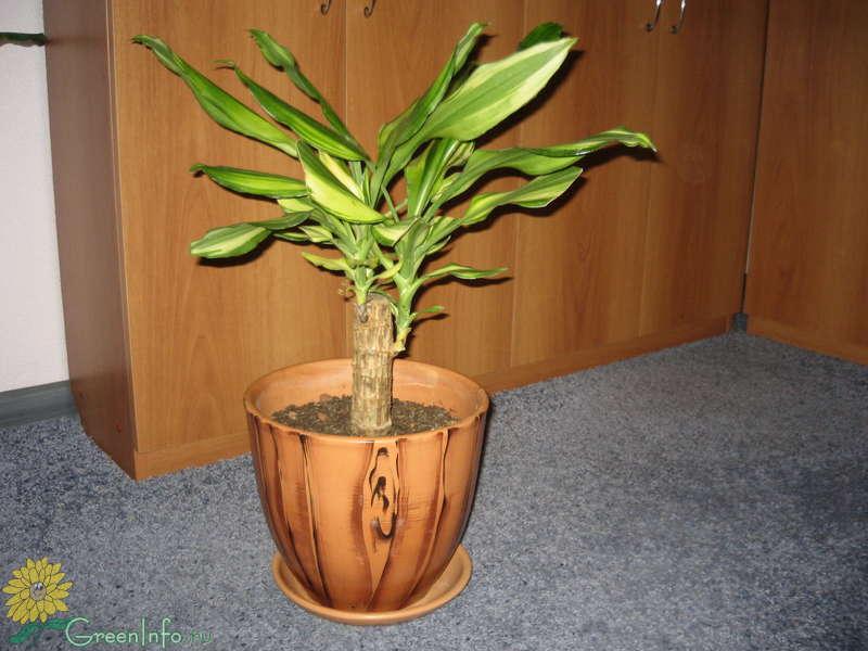 Почему опадают листья у домашней пальмы