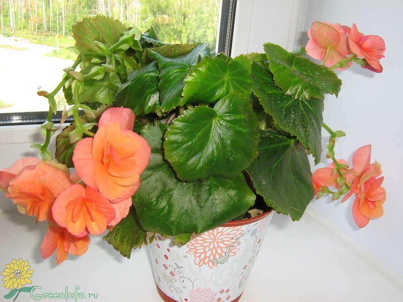 Бегония уход в домашних условиях фото сохнут листья