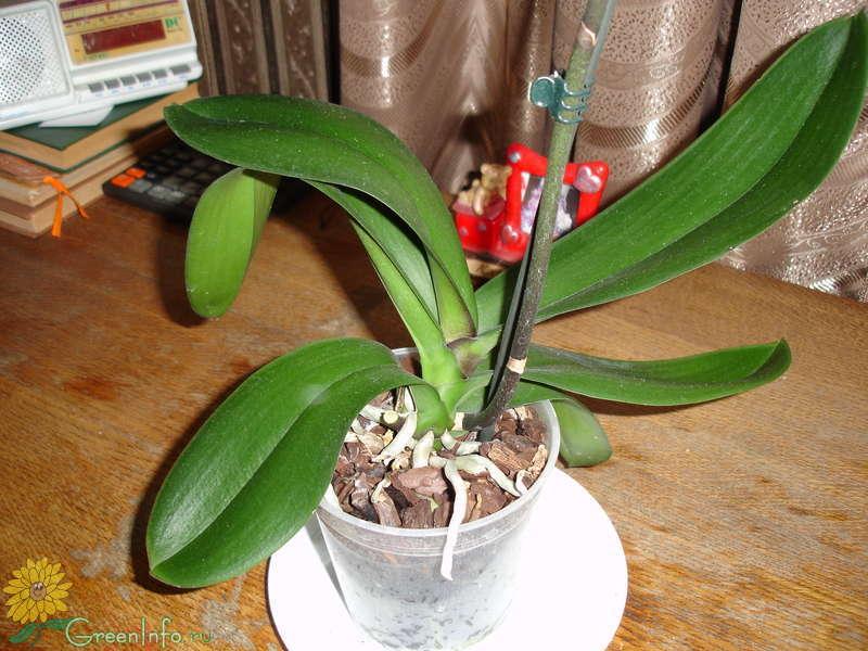 Орхидеи погибают что делать