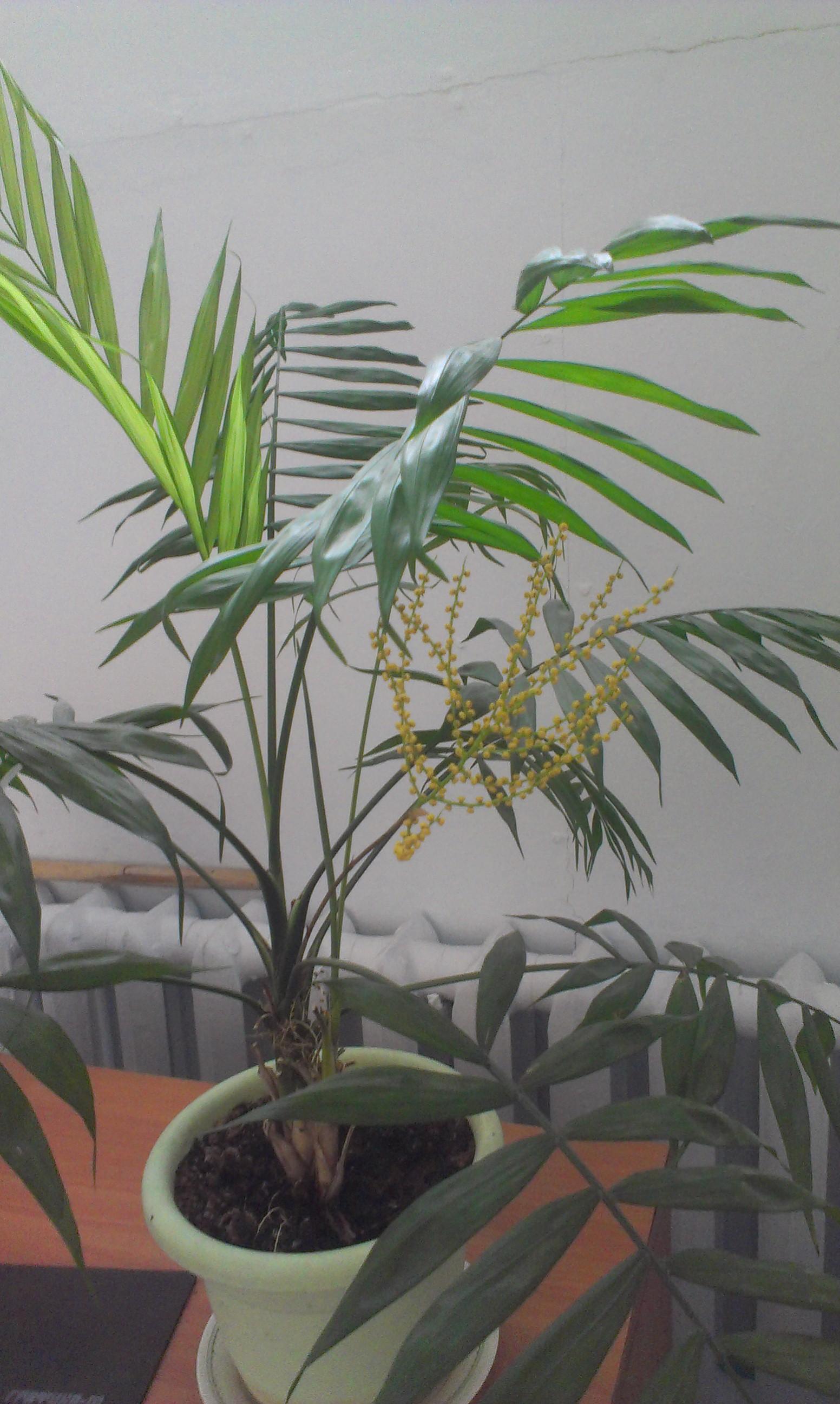 как цветет хамедорея