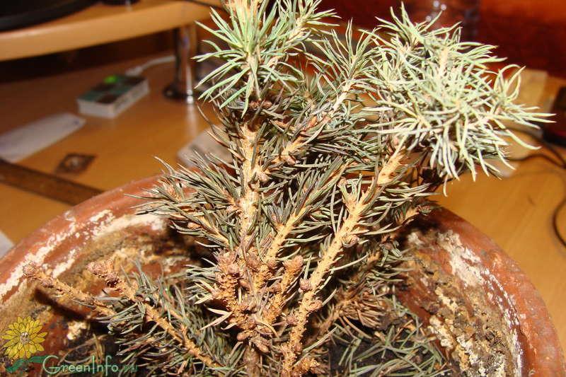 Ель коника выращивание в домашних условиях