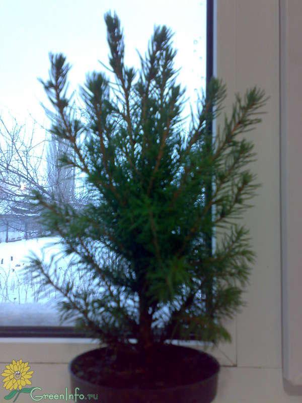 елка в домашних условиях уход