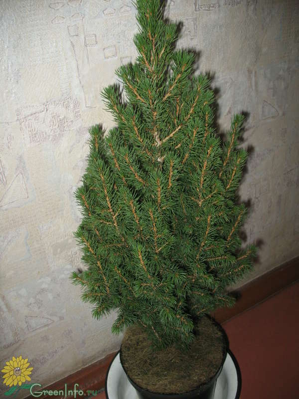 уход за елкой в горшке в домашних условиях
