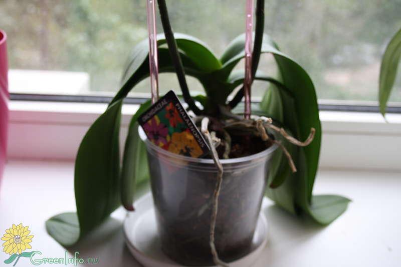 Если опустились листья в орхидеи что делать