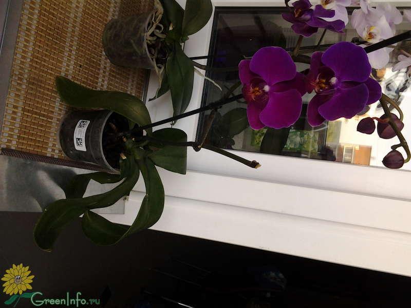Орхидея завяли листья и цветы