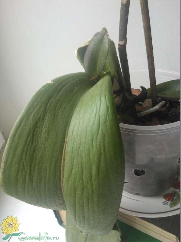 Управления почему вянет орхидея что делать обычный завод можно
