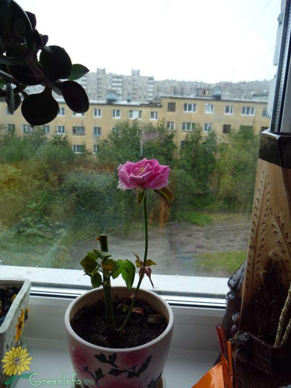 Розы в вазе дали отростки что делать